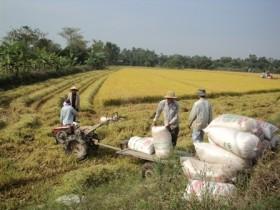 Chủ trương mua tạm trữ lúa gạo vụ hè thu chưa thỏa đáng?