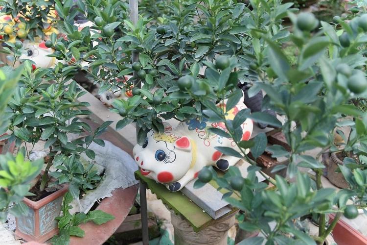 quat bonsai trong trong heo dat hut khach dip tet ky hoi
