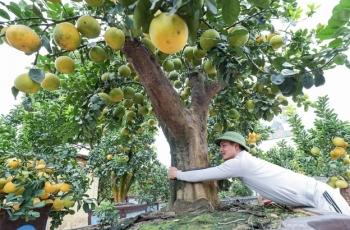 Chiêm ngưỡng bưởi siêu độc dáng làng giá 200 triệu ở Hưng Yên