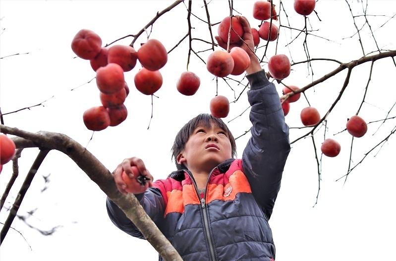 """Nghệ An: Đào nở rộ, hồng chín đỏ cây trên """"cổng trời"""" Mường Lống"""