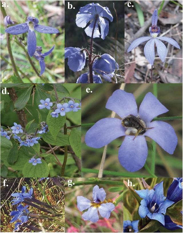 Tại sao có rất ít hoa màu xanh và vì sao chúng lại quan trọng? - 4