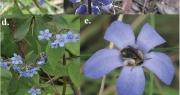 Tại sao có rất ít hoa màu xanh và vì sao chúng lại quan trọng?