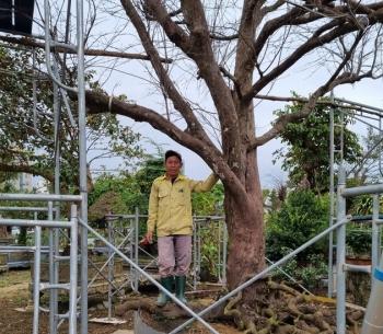 """Cận cảnh """"cụ mai"""" gần 200 tuổi ở Đà Nẵng"""