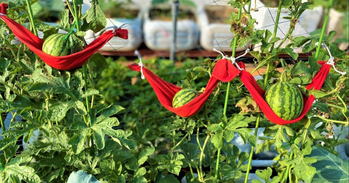 """Dưa hấu """"mắc võng"""", rau trồng trong can nhựa xanh mướt sân thượng"""