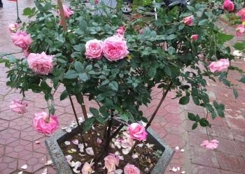 """""""Chán"""" đào quất, nhiều người dân mua hoa hồng cổ Sa Pa chơi Tết"""