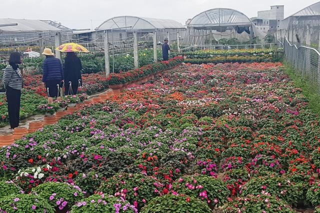 Làng hoa lớn nhất Quảng Trị rực rỡ đón Xuân - 11