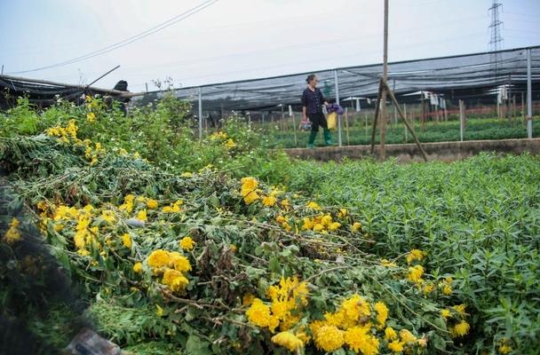 Ế ẩm vì dịch, hoa chết khô giữa đồng, bị vứt bỏ như rác