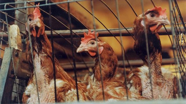 WHO, FAO khuyến cáo Việt Nam cảnh giác cúm H5N8 lây từ gia cầm sang người - 1