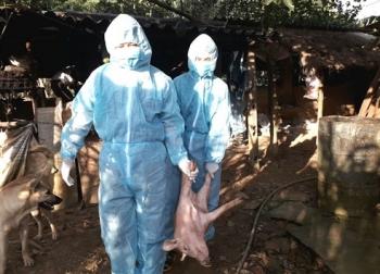Trung Quốc: Dịch tả lợn châu Phi bùng phát tại Tân Cương