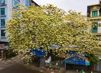 Cây hoa bún - ''báu vật'' 300 năm tuổi giữa lòng Hà Nội