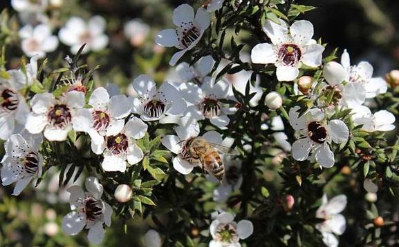 Loại mật ong siêu đắt đỏ, thu hoạch bằng… trực thăng