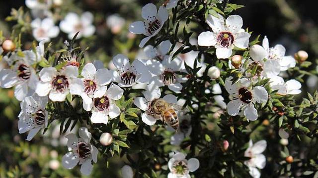 Loại mật ong siêu đắt đỏ, thu hoạch bằng… trực thăng - 1