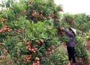 Huyện Lục Ngạn (Bắc Giang): Hai kịch bản hỗ trợ tiêu thụ vải thiều năm 2021