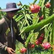 Để trái thanh long thực sự thành nông sản xuất khẩu chủ lực