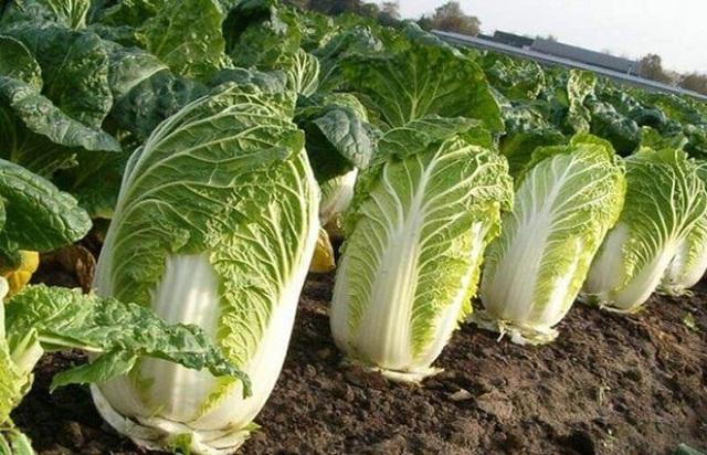 Loại rau cải nào vừa tốt cho gan vừa giúp giảm cân hiệu quả? - 1