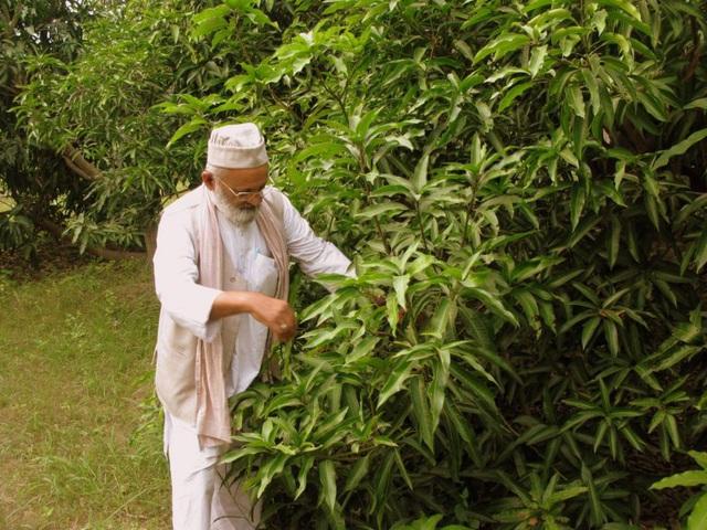 Cây xoài thần kỳ có 300 giống quả của cụ ông 80 tuổi - 1