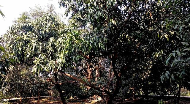 Cây xoài thần kỳ có 300 giống quả của cụ ông 80 tuổi - 2