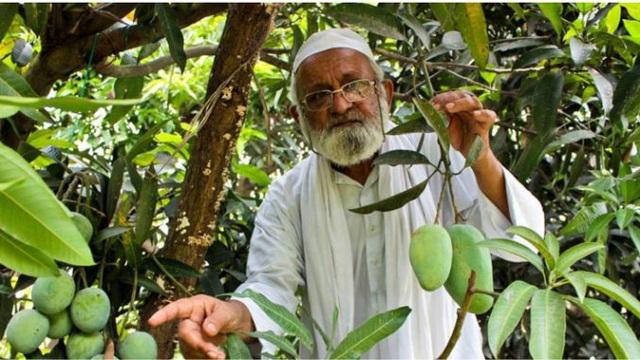 Cây xoài thần kỳ có 300 giống quả của cụ ông 80 tuổi - 3