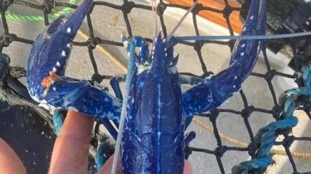 Ngư dân bắt được tôm hùm xanh dương hai triệu con mới có một - 1