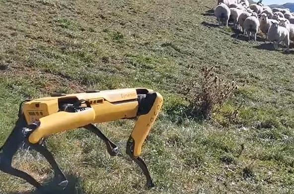 Robot thông minh chăn cừu trên đồi
