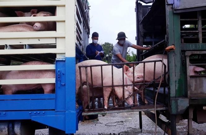 Từ 30/6, Việt Nam tạm ngừng nhập khẩu lợn sống của Thái Lan