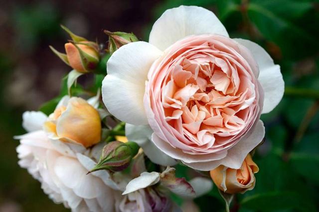 Những loài hoa đắt nhất thế giới - 4
