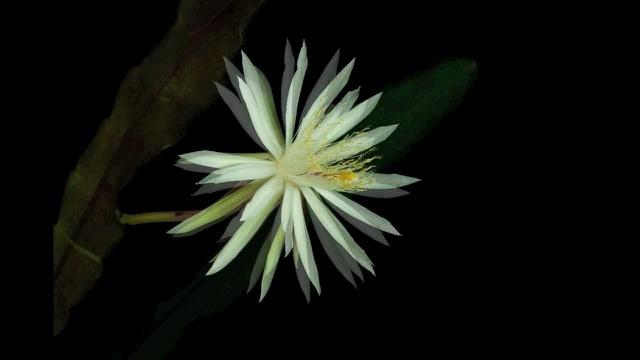 Những loài hoa đắt nhất thế giới - 5