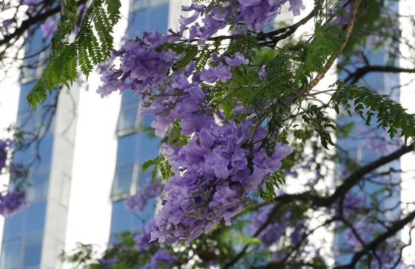 Sắc tím hoa phượng ở Lisbon