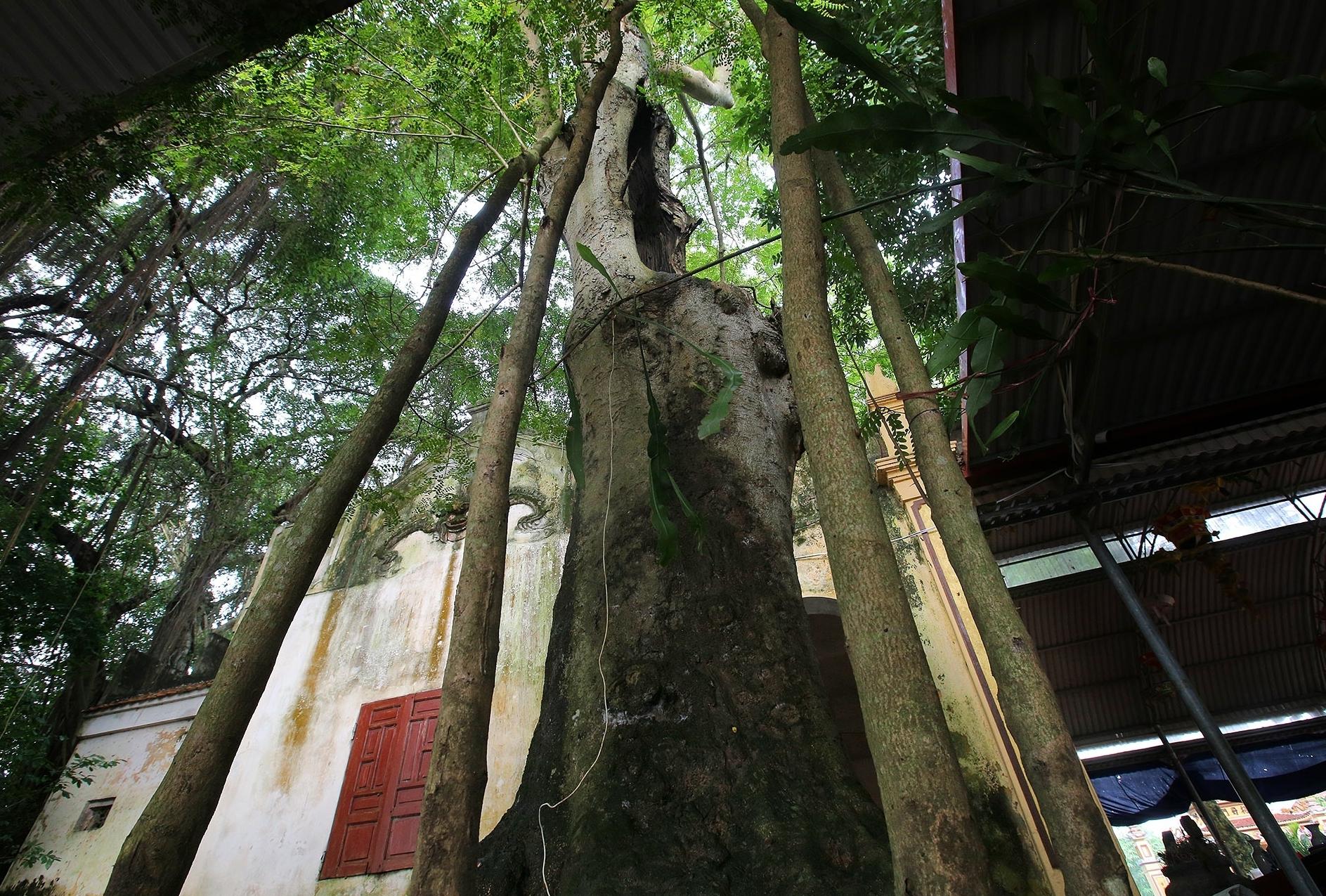 """Ngắm 9 siêu cây """"đại cổ trường sinh"""" tại ngoại thành Hà Nội"""
