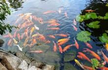 Hãy để cá làm thanh tra môi trường!