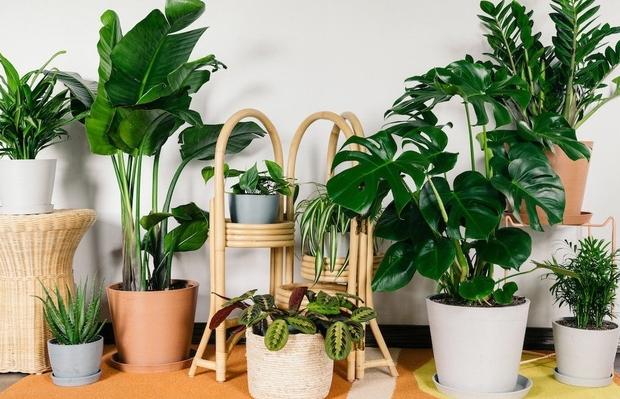 """Mùa hè trồng ngay loại cây này trong nhà """"khỏi cần máy lọc không khí"""""""