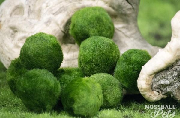 """Kỳ thú """"báu vật tảo cầu"""" được bảo tồn nghiêm ngặt ở Nhật Bản"""