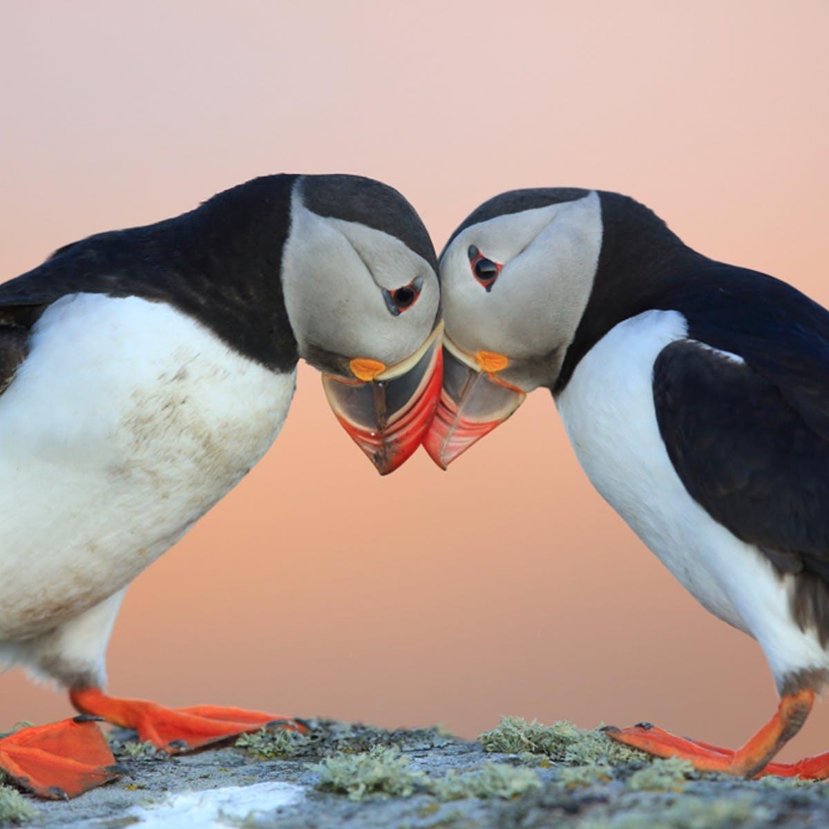 Những khoảnh khắc ngộ nghĩnh của hải âu cổ rụt Đại Tây Dương