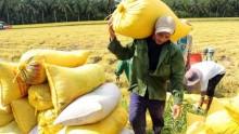 Gạo Việt thua đơn thiệt kép