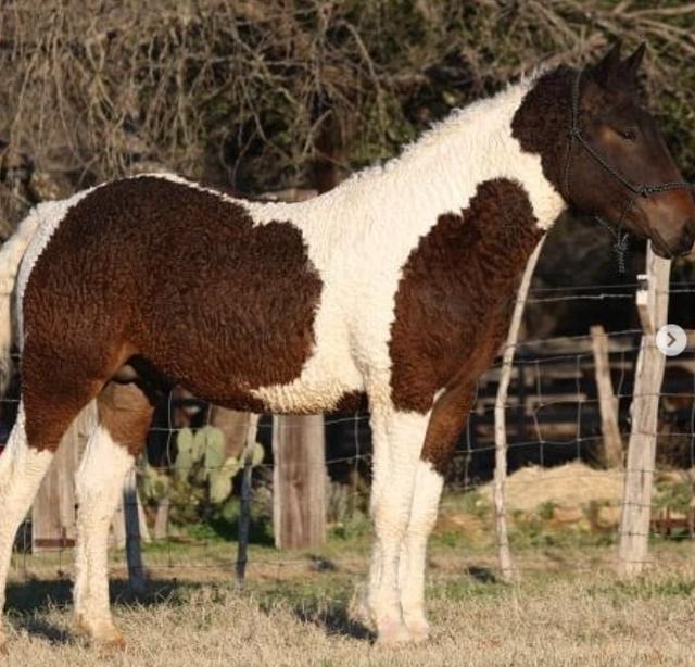 Cận cảnh giống ngựa lông xoăn bí ẩn của thế giới - 3