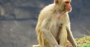 """Vắc xin Covid-19 """"made in Vietnam"""" được thử nghiệm trên khỉ"""