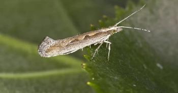 Các nhà khoa học Nga nghiên cứu lai tạo bướm đêm để... ăn rác nhựa
