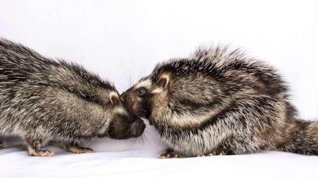 Phát hiện loài chuột kỳ lạ có bộ lông cực độc có thể hạ gục cả voi - 1