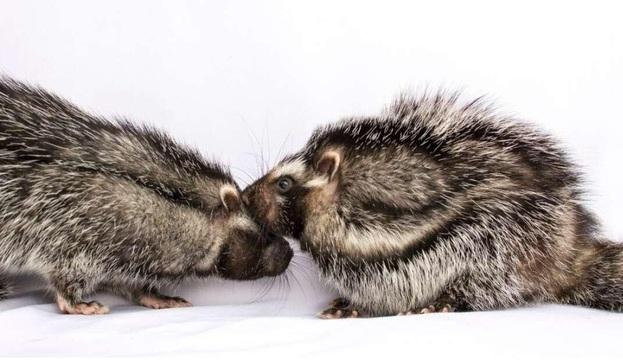 Phát hiện loài chuột kỳ lạ có bộ lông cực độc có thể hạ gục cả voi