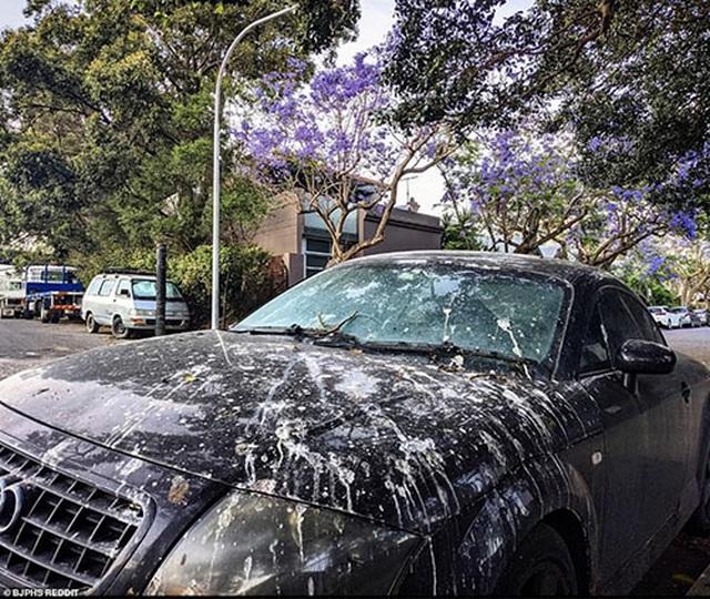 Cơn sốt hoa phượng tím mùa Xuân ở xứ Kangaroo - 2