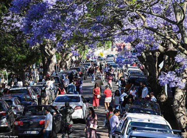 Cơn sốt hoa phượng tím mùa Xuân ở xứ Kangaroo - 5