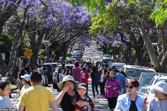 Cơn sốt hoa phượng tím mùa Xuân ở xứ Kangaroo - 4