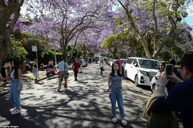 Cơn sốt hoa phượng tím mùa Xuân ở xứ Kangaroo - 6
