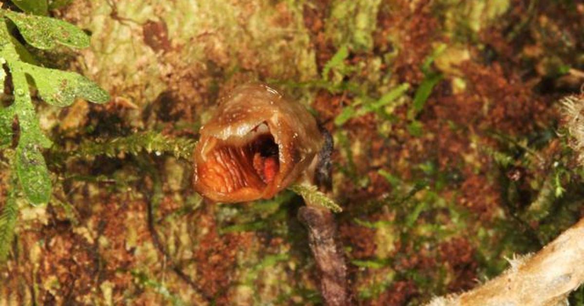 """Tìm thấy loài """"phong lan xấu nhất thế giới"""""""