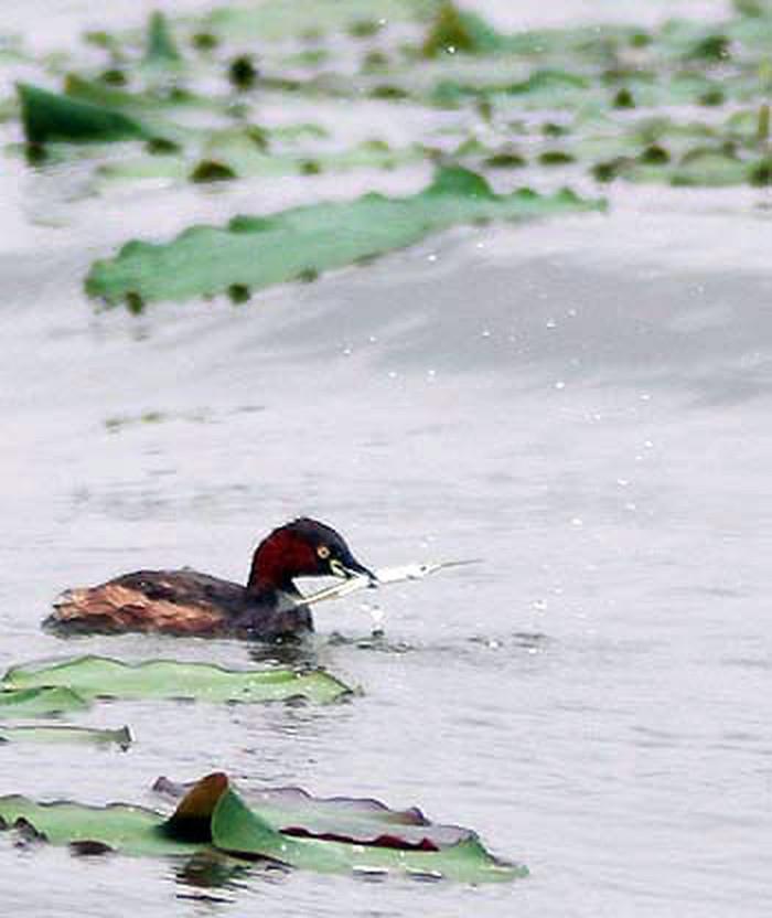 Le le, loài chim đặc hữu của hồ Tây nay rất hiếm gặp