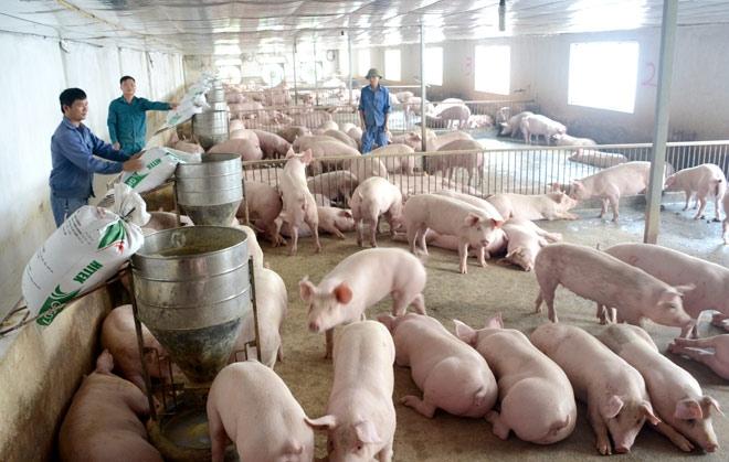 Chăn nuôi lợn tại tỉnh Vĩnh Phúc