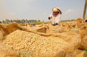 Giá lúa gạo Việt Nam vẫn ở mức cao, nhiều thị trường lớn biến động