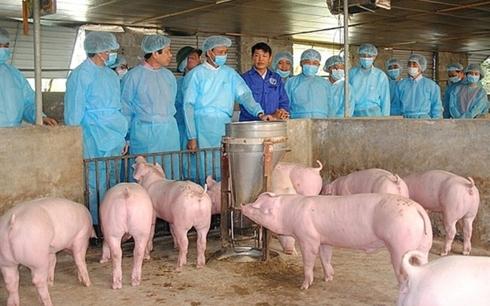 Giá lợn hơi tiếp tục chịu chi phối bởi diễn biến dịch tả lợn châu Phi