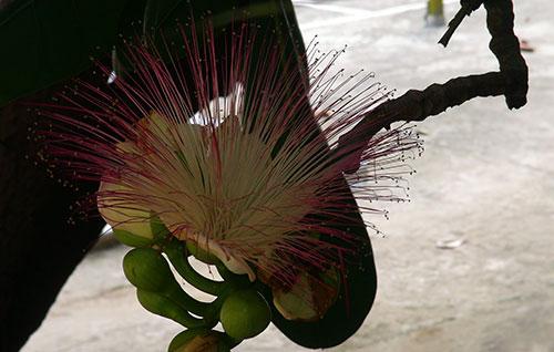 Hoa bàng quả vuông, loài hoa không thể thiếu khi nhắc đến Trường Sa.