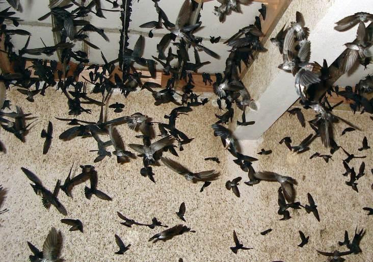 tp hcm se cam nuoi chim yen trong khu trung tam